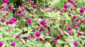 everlasting : purple Globe Amaranth or Bachelor Button