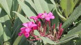 perfume : pink Plumeria tree or pagoda tree with flowers