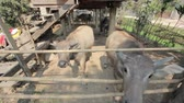 heavy : buffalo in stable, rural of thailand Stock Footage