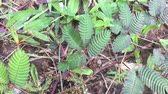 mouvement lent main touche et chatouille mimosa pudica, plante sensible, plante endormie