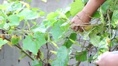 ипомеи : closeup hand of man picking moonflower from its tree.