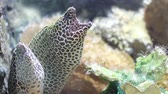 muraenidae : Spotted moray in fish tank or aquarium, rea ltime