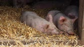 Two little pigs on a hay in pigsty on the farm in English countryside Vídeos