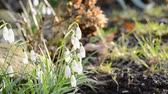 kar taneciği : snowdrops in the light air in the garden,natural lighting