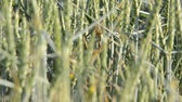 agronomists : detail of wheat field with a focus ladybirdrack