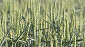 agronomists : detail of wheat fieldlocked down Stock Footage