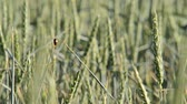 agronomists : detail of a wheat field with ladybird, rack focus Stock Footage