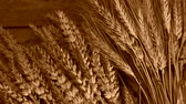 agronomists : still life with wheat and barley, zoom in, color shade