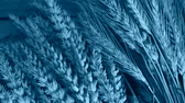 sheaf of barley : still life with wheat and barley, zoom out, blue toned