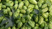 agronomists : Detail of hop cones, zoom in