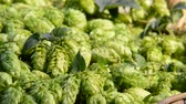 hop garden : Detail of hop cones in the wicker basket, zoom out Stock Footage