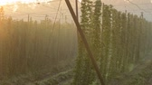 agronomists : Hop field in the morning fog