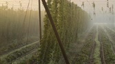 agronomists : Detail of hop field, zoom in Stock Footage