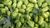 bitterness : Detail of hop cones, zoom out