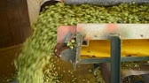 agronomists : conveyor belt with hops Stock Footage