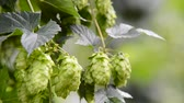 agronomists : detail of hop field before harvest, no sound, zoo out Stock Footage