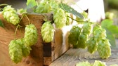 agronomists : still life with hop cones and wheat and barley, zoom in, no sound, shallow depth of field