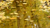 flora : Leaves floating down a creek in the autumn forest, no camera movement, real time, no sound,
