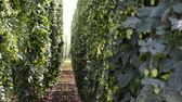 hop garden : Hop field before the harvest. Zoom out. no sound Stock Footage