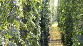 agronomists : hop field before the harvest, Czech Whoops, no sound, zoom in,