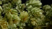 bitterness : Detail of Dry Hop Cones. Shot with Slider. Stock Footage
