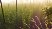 agronomists : The Grass in front of Hop Field at Sunrise. Czech Republic. Zoom in. Stock Footage
