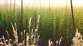 agronomists : The Grass in front of Hop Field at Sunrise. Czech Republic. No Movement Camera.