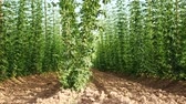 agronomists : Hop Field in the Wind. No Movement Camera.