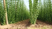 agronomists : Hop Field in the Breeze.