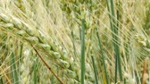 agronomists : Detail of Wheat Field. Tilt.