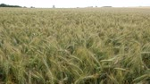 agronomists : Wheat Field in the Wind. No Movement Camera. Stock Footage