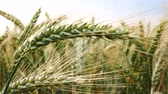 agronomists : Detail of Wheat in the Breeze. No Movement Camera. Shot with Filter.