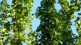 hop garden : Detail of Hop Field before Harvest. Panning. Stock Footage