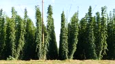 agronomists : Hop Field Before Harvest. Czech Republic. Panning.