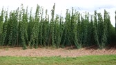 agronomists : Hop Field before Harvest in Czech Republic. Vehicle Shot.