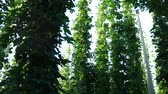 agronomists : Hop Field before Harvest. Handhel. Panning. Stock Footage