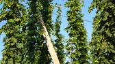 agronomists : Hop Field Before Harvest. Czech Republic. No Movement Camera.