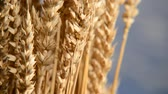 sheaf of barley : Detail Of Wheat On The Blue Sky. Shot With Slider. Stock Footage