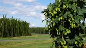 agronomists : Cyclists Riding along the Hop Field in Steknik Village. Czech Republic. Stock Footage