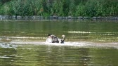 Dog Running in the River in the Summertime. Panning. Стоковые видеозаписи
