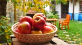 vime : Red Apples in the Basket in the Garden. Zoom in.