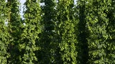 sörfőzés : Detail of Hop Field before Harvest.Tilt.