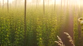 горький : The Grass in Front of Hop Field at Sunrise. Czech Republic.Panning.