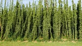 горький : Detail of Hop Field before Harvest.Panning.