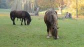 kuru : Horses grazing on the meadow. No camera motion. Stok Video