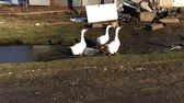 nibbling : Three domestic white geese goes on the field Stock Footage