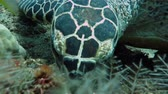 animals : Hawksbill  sea turtle   current on coral reef  island, Bali. Stock Footage