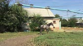 equestrian sport : Racing stallion goes tied to a post. Stock Footage