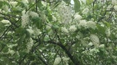 hassaslık : Flowers white lilac with green leaves.