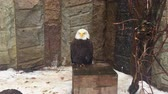 гриф : Eagle vulture sitting and looking around. Стоковые видеозаписи